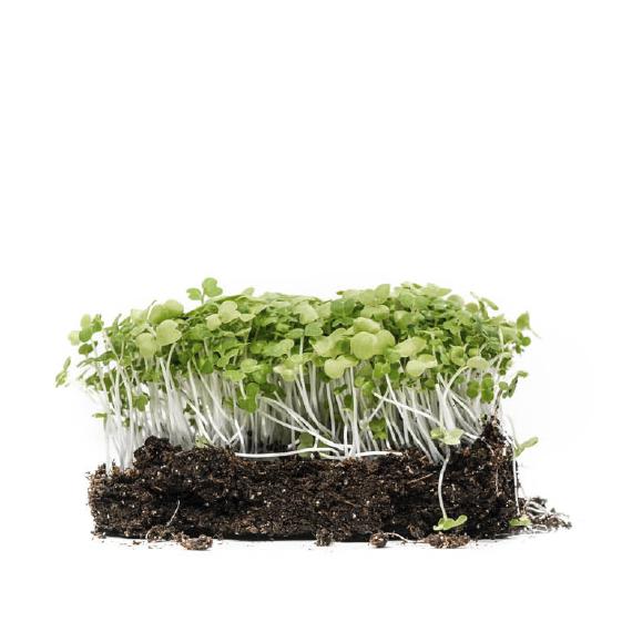 Well-grown-farms-microgreens-col-mustard-mix-mizuno-mustard-tokyo-bekana-white-pac-choy.png