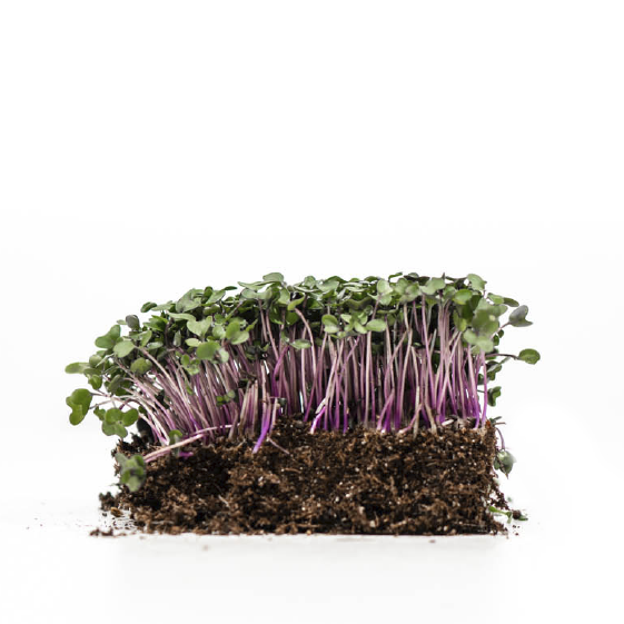 Well-grown-farms-microgreens-purple-vienna-kholrabi.png