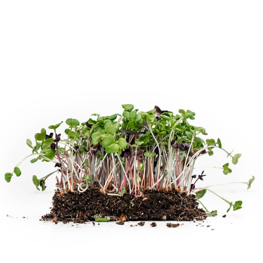 well-grown-farms-microgreens-night-of-spice-mix-sango-purple-radish-daikon-radish-china-rose-radish