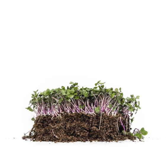 Well-Grown-farms-microgreens-purple-rain-mix.png