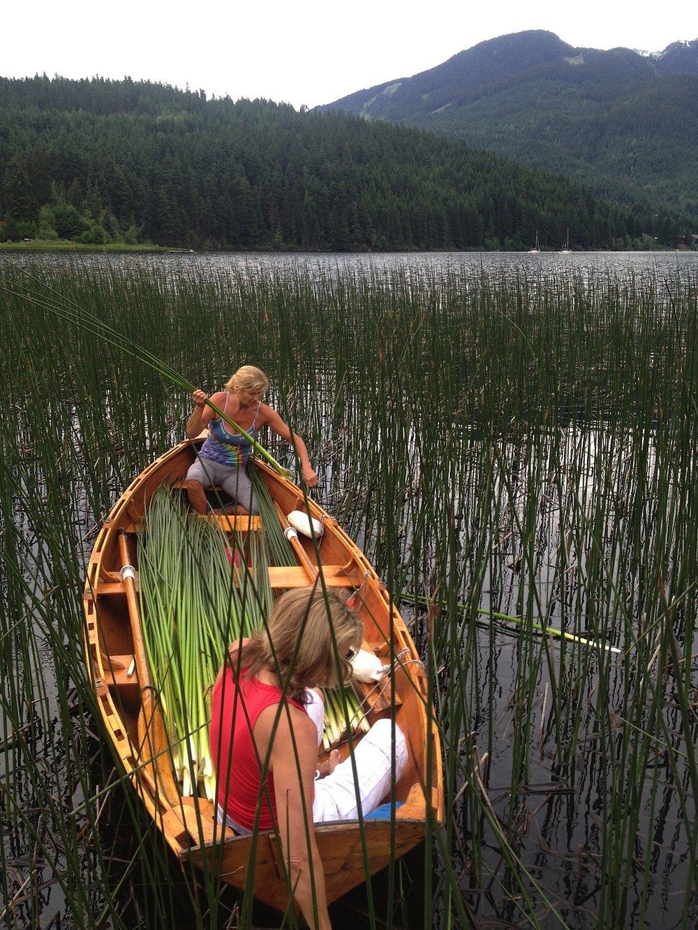 Harvesting Tule Rush reeds