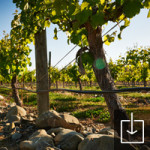 Vineyards showing rocky soils