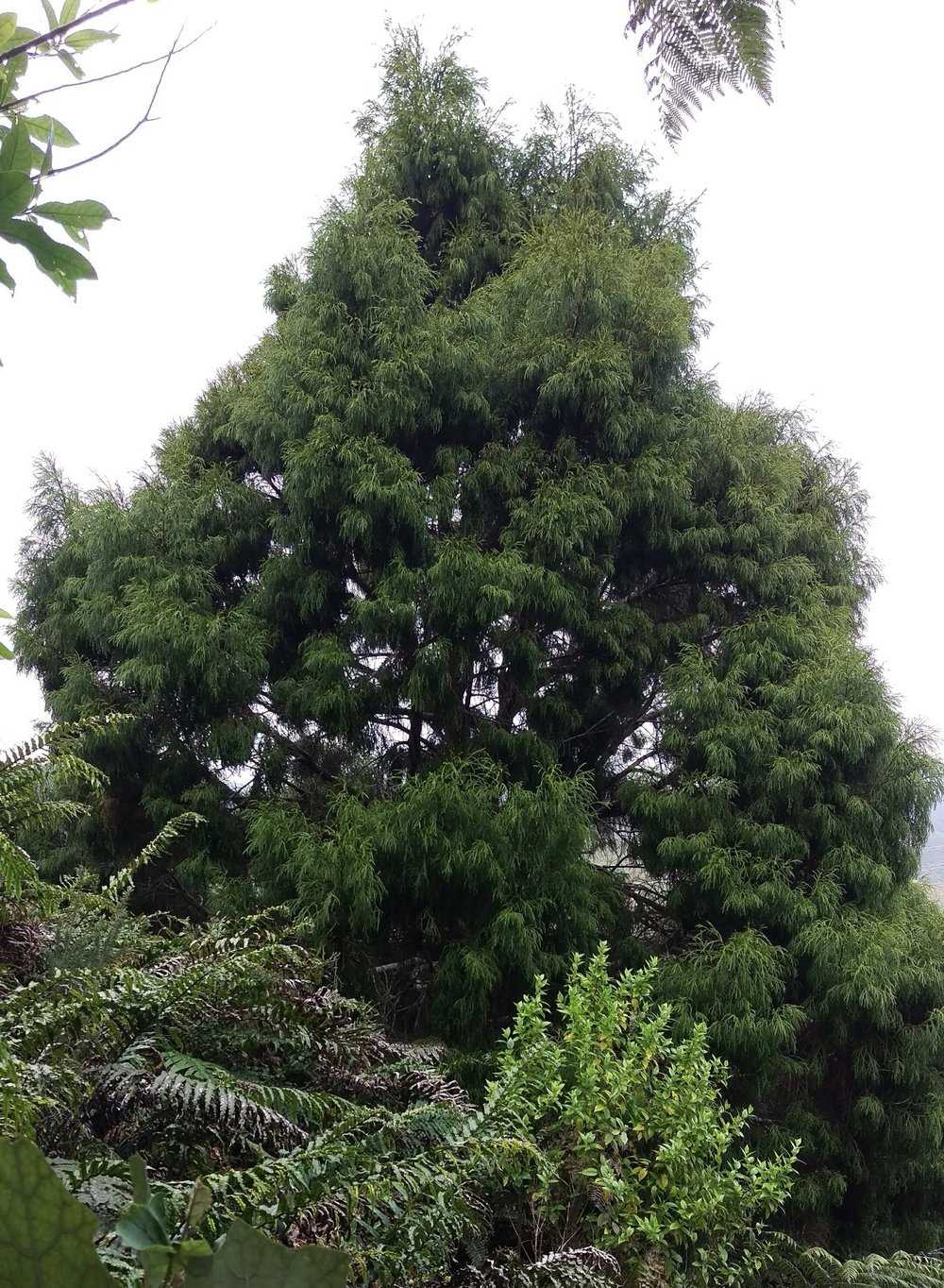 Tree of the Week - Rimu.jpg