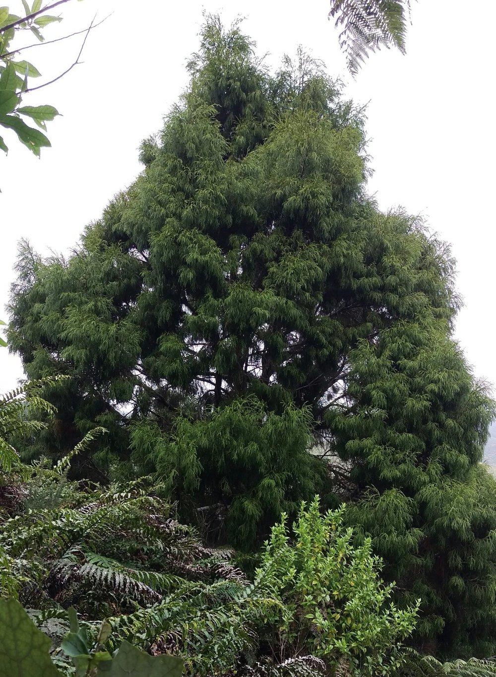 Tree of the Week - Rimu.jpg