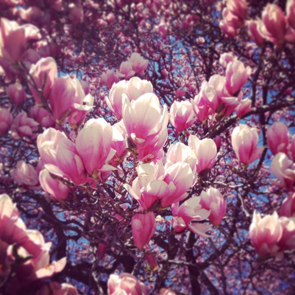 DC in bloom, April '14, Photo: Kate Gallery, Neighborhood Nomads