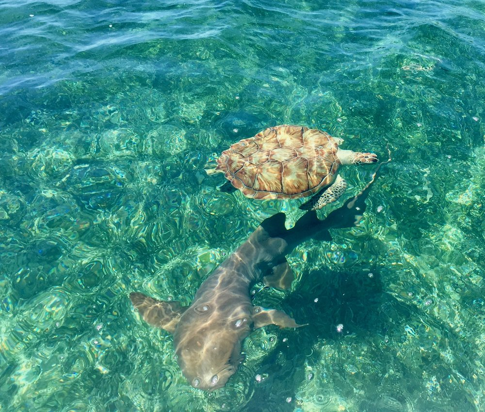 Green Turtle and Nurse Shark coming to say hi