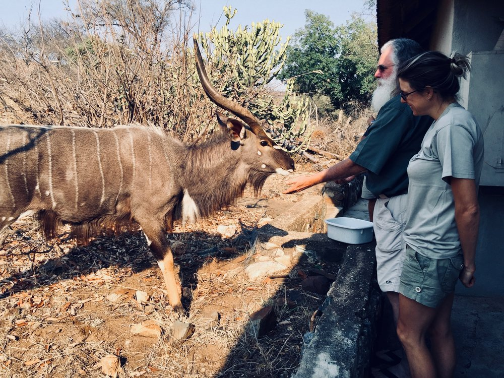 Feeding the hungry  Nyala  apples during the last drought. They are generally never this confiding but desperate times.