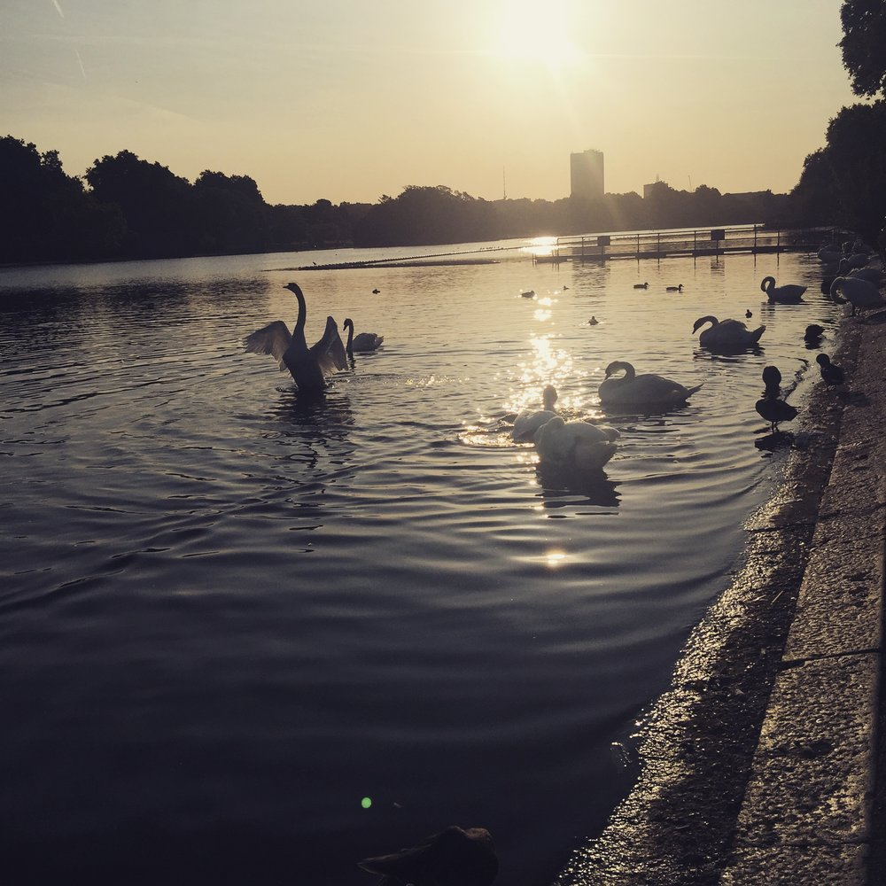 Swan lake at the Serpentine.