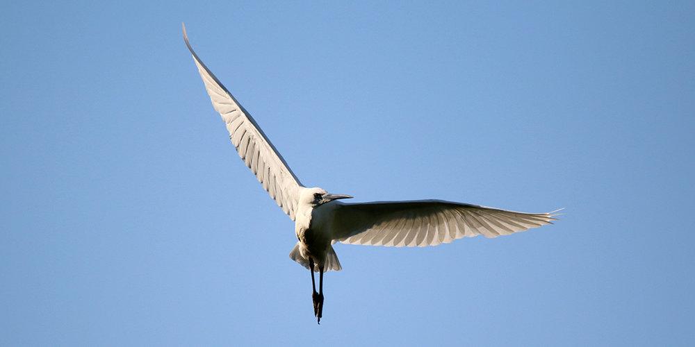 Little egret (Chris Harris)