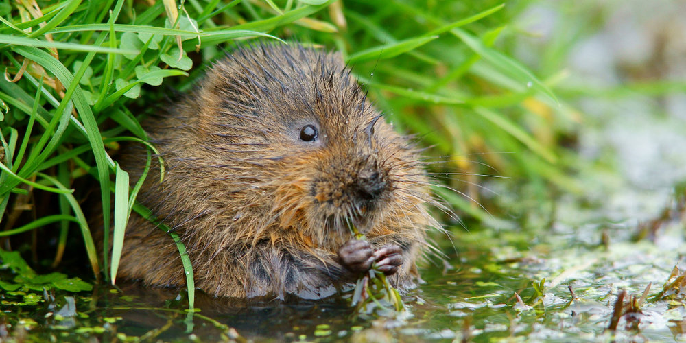 Water vole (Peter Trimming)
