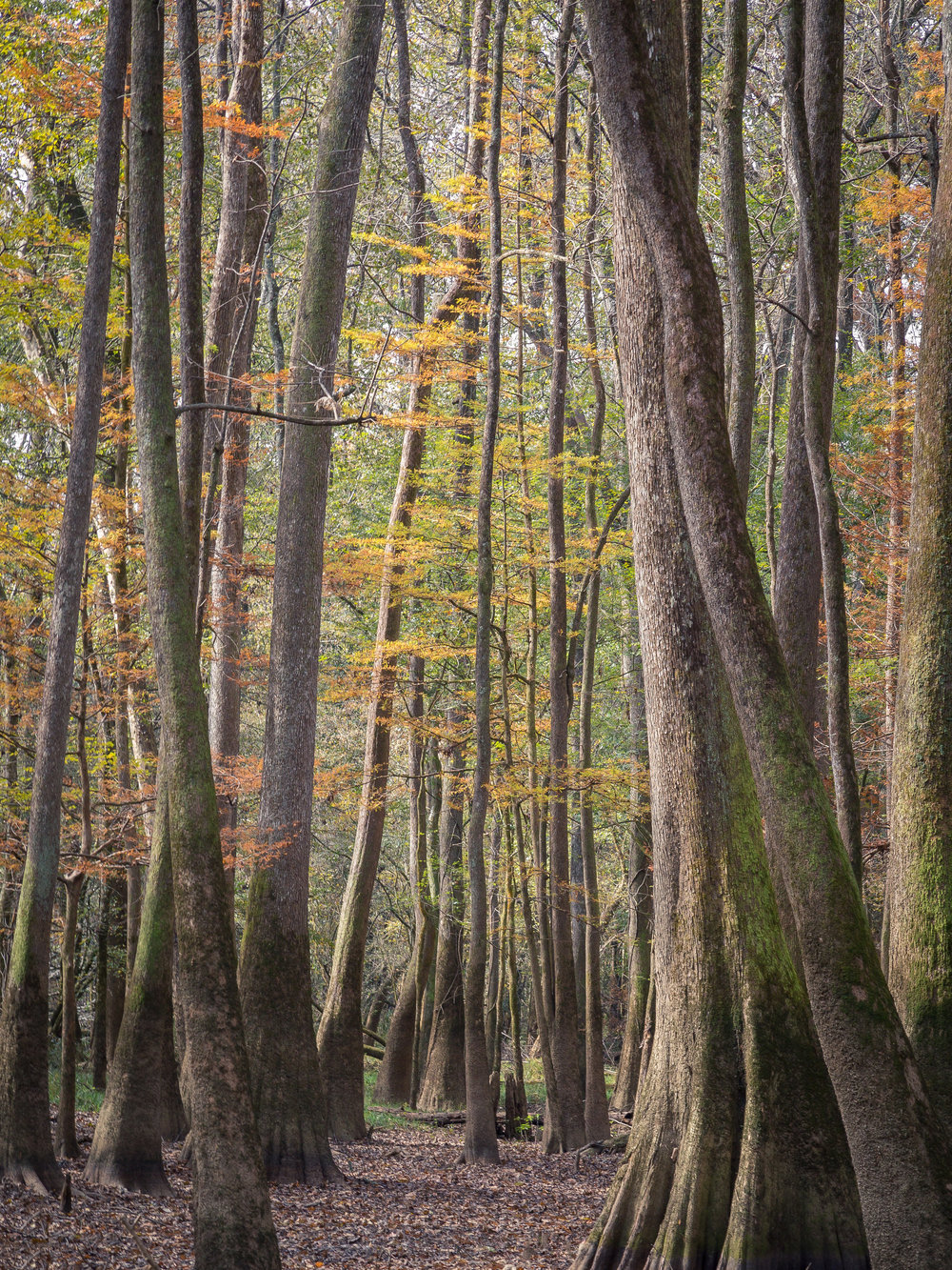 Cypress Color Congaree National Park, SC  2017