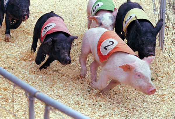 Entertainment - Pigs