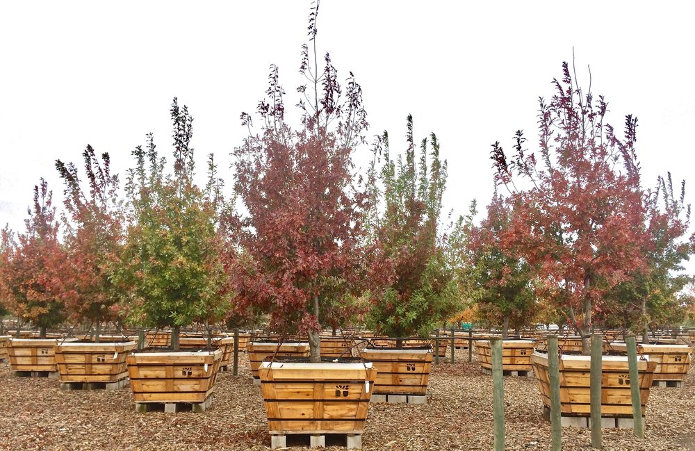 Hill Country Red Oak