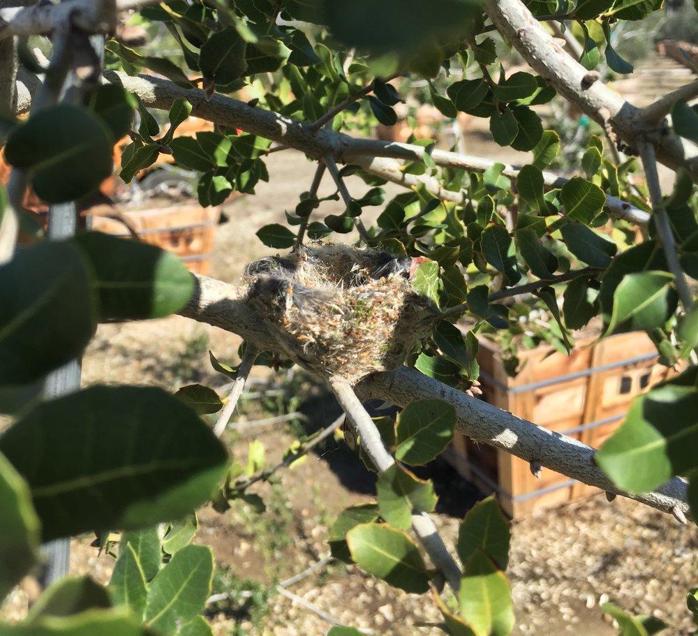 Levantine Live Oak