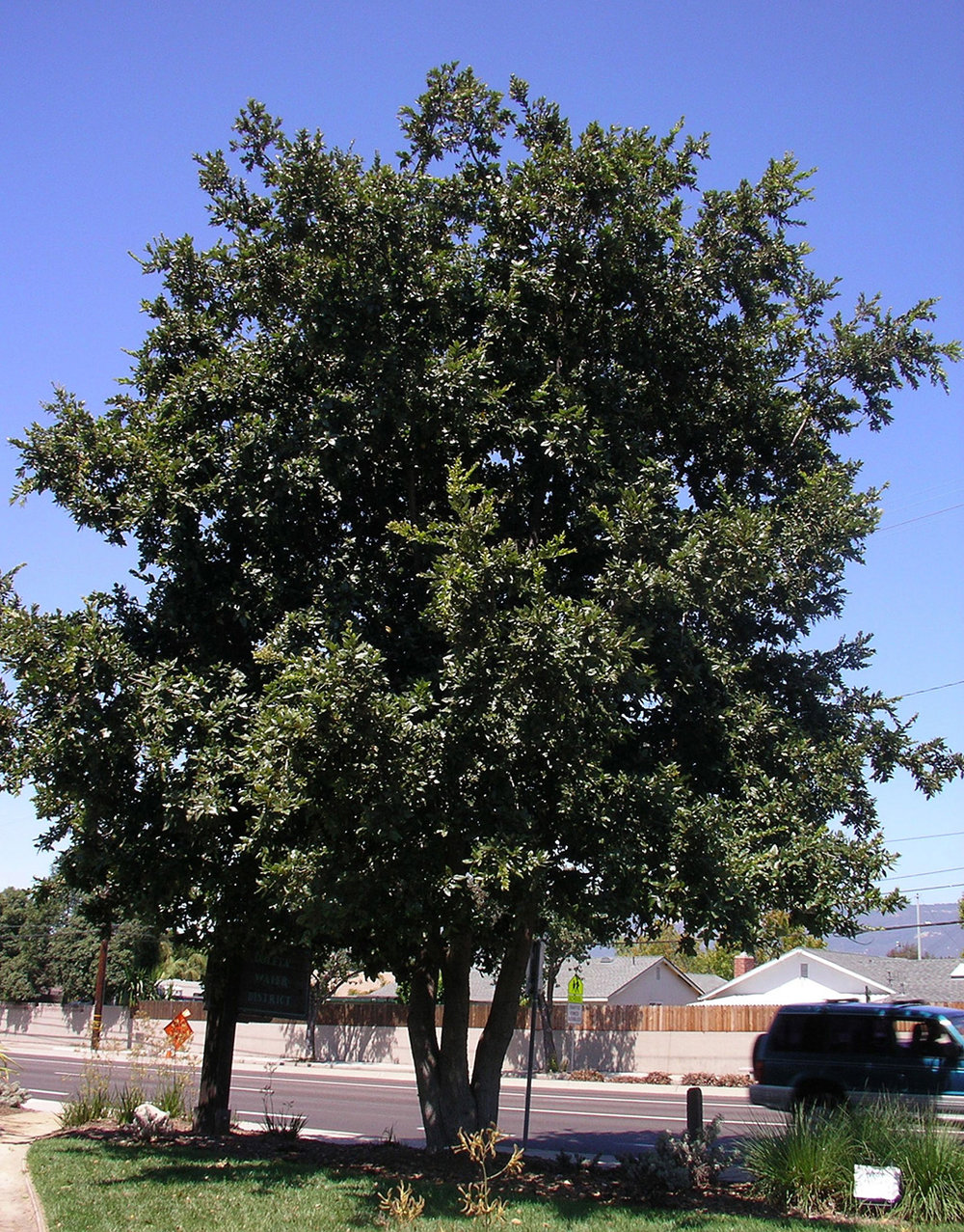 Quercus-tomentella---Santa-Barbara.jpg