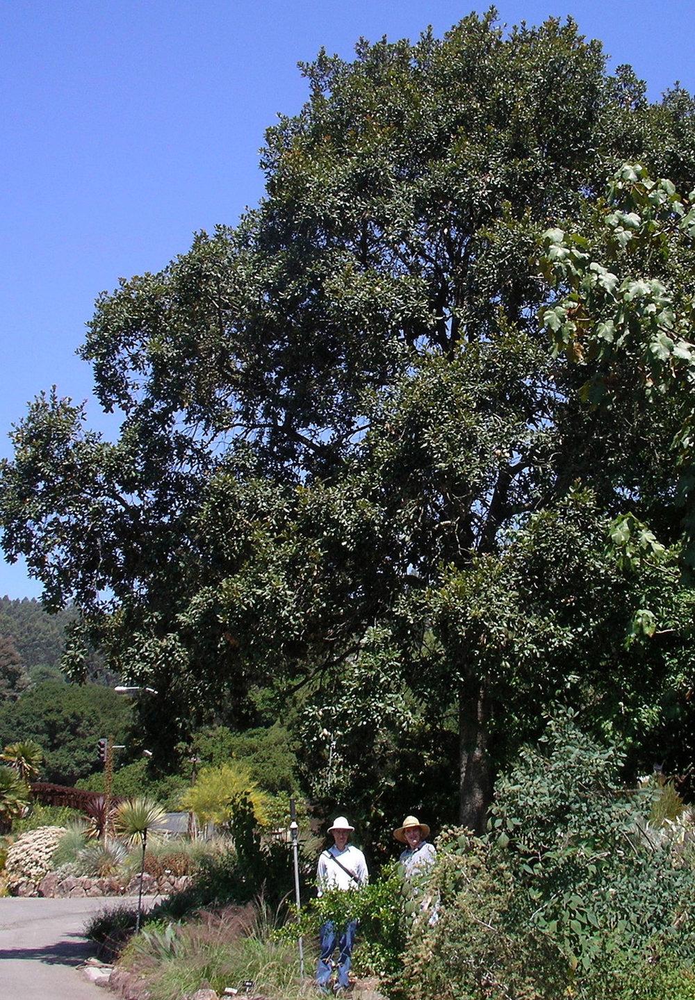 Quercus-rugosa---Berkeley,-CA.jpg