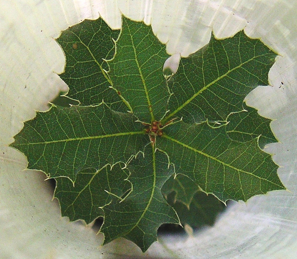 Quercus-coccifera-var.-calliprinos.jpg