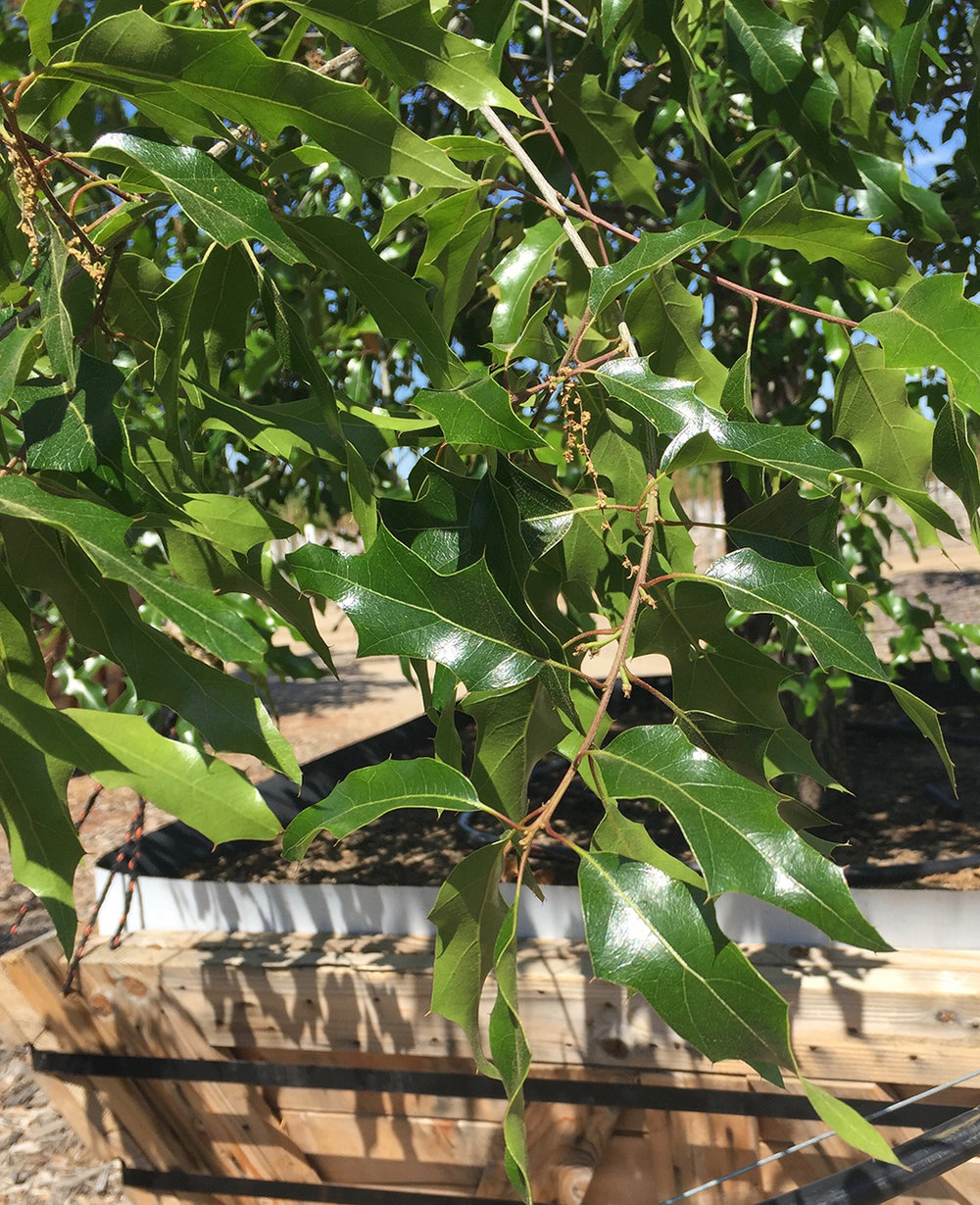 Canby Oak