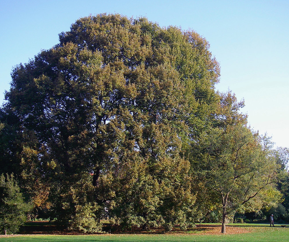 Chestnut-leaved Oak