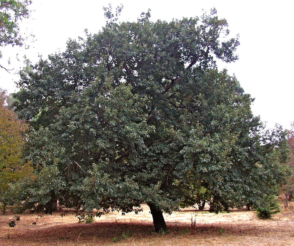 Turkey Oak