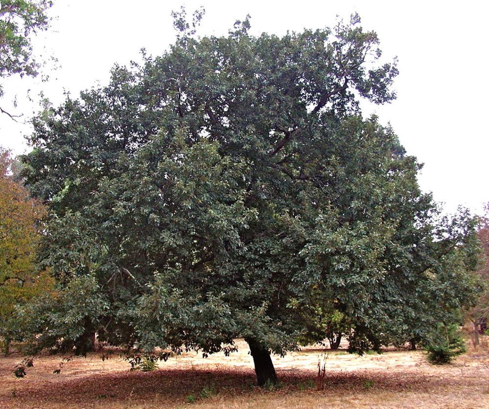 Turkey Oak
