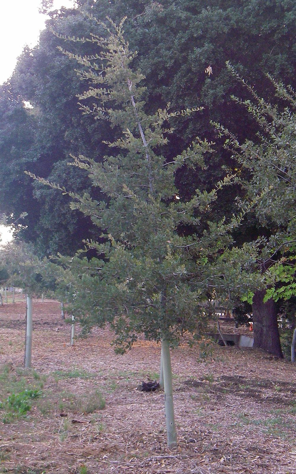 Engelman Oak