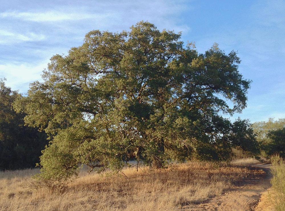 Hybrid Engelman Oak