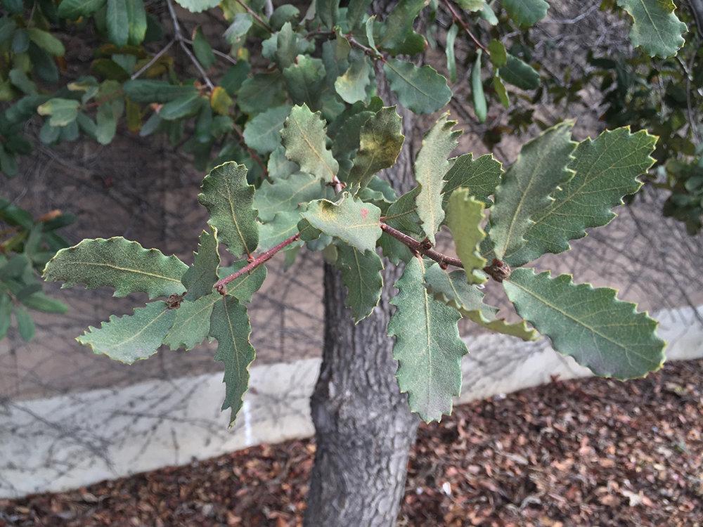 Hybrid Oak - Engelman Oak x Chestnut-leaved Oak