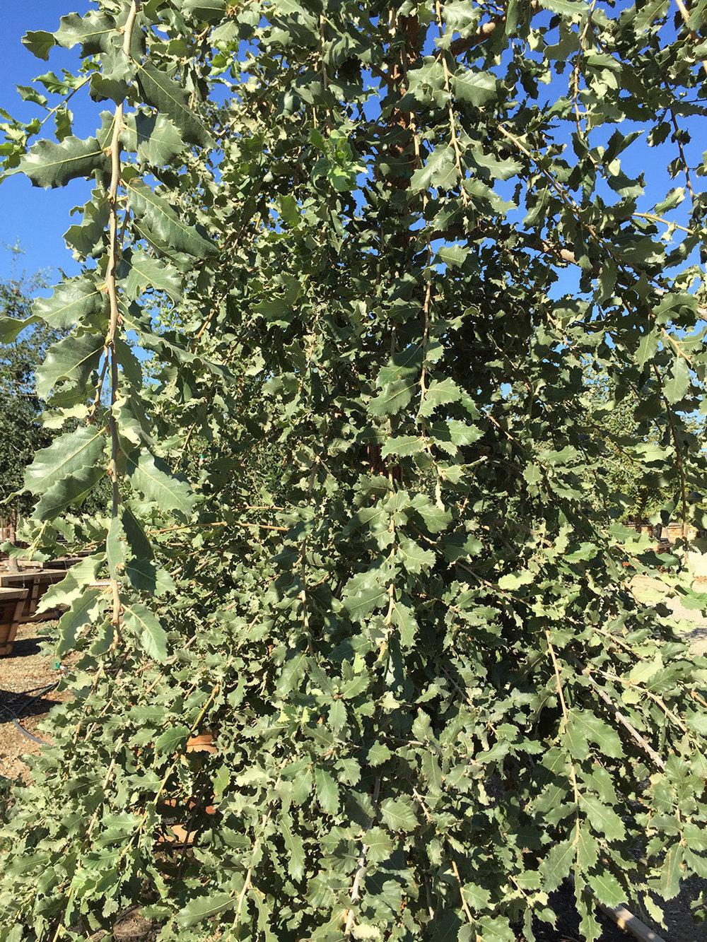 Mount Tabor Oak