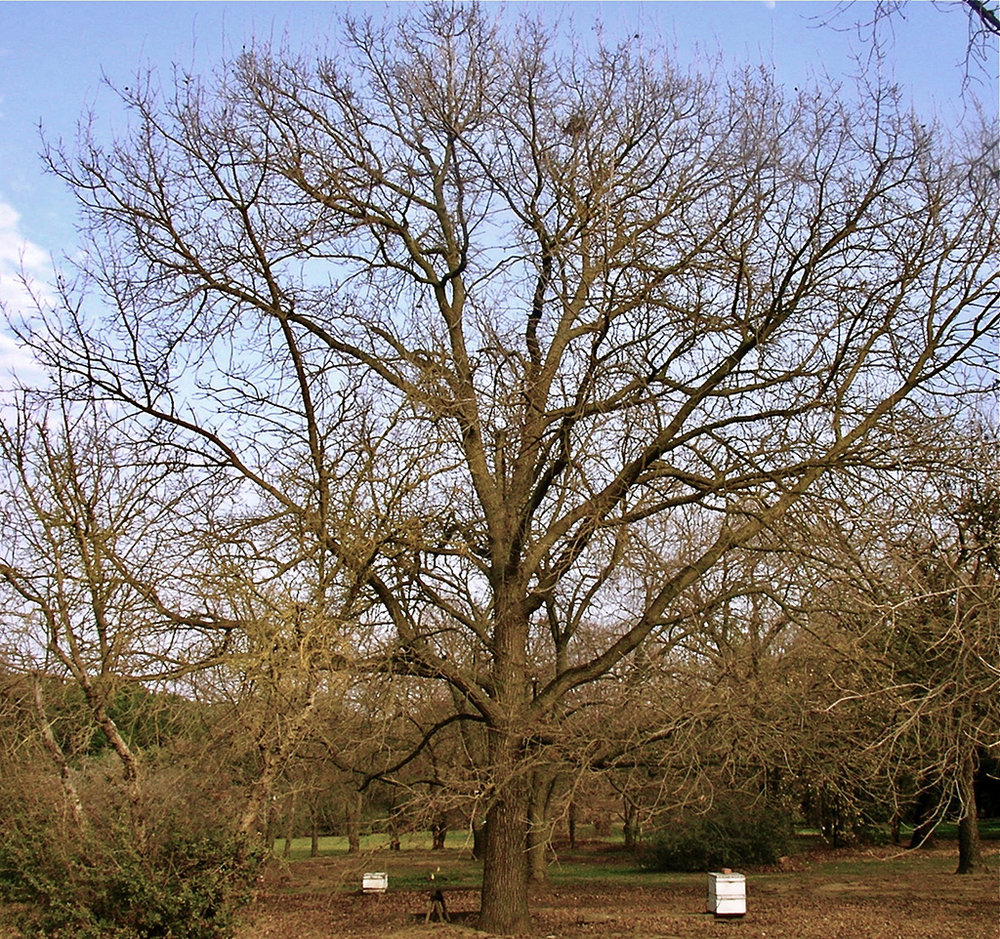Hybrid Oak - Bur Oak x Valley Oak