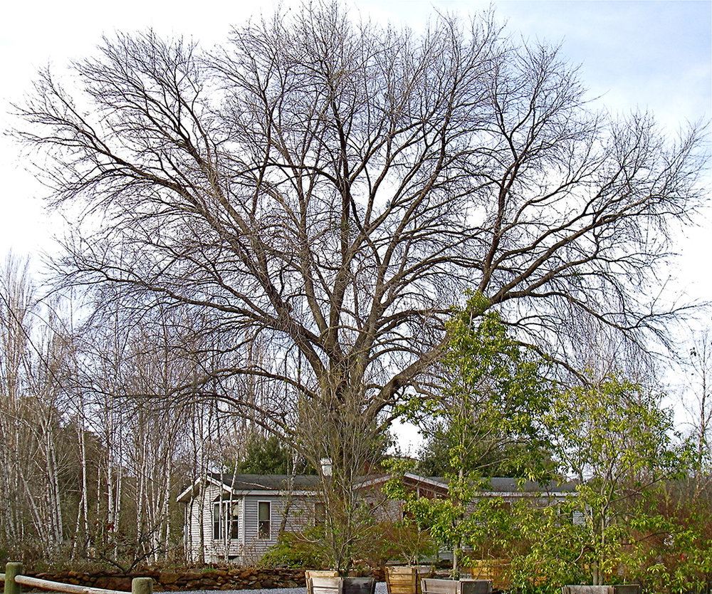 Hybrid Oak - Bur Oak x English Oak x Valley Oak