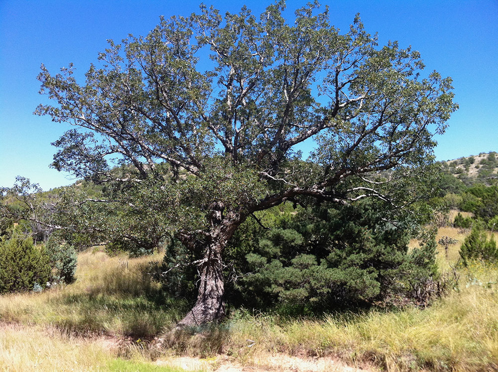 Chinkapin Oak - Southwestern Form