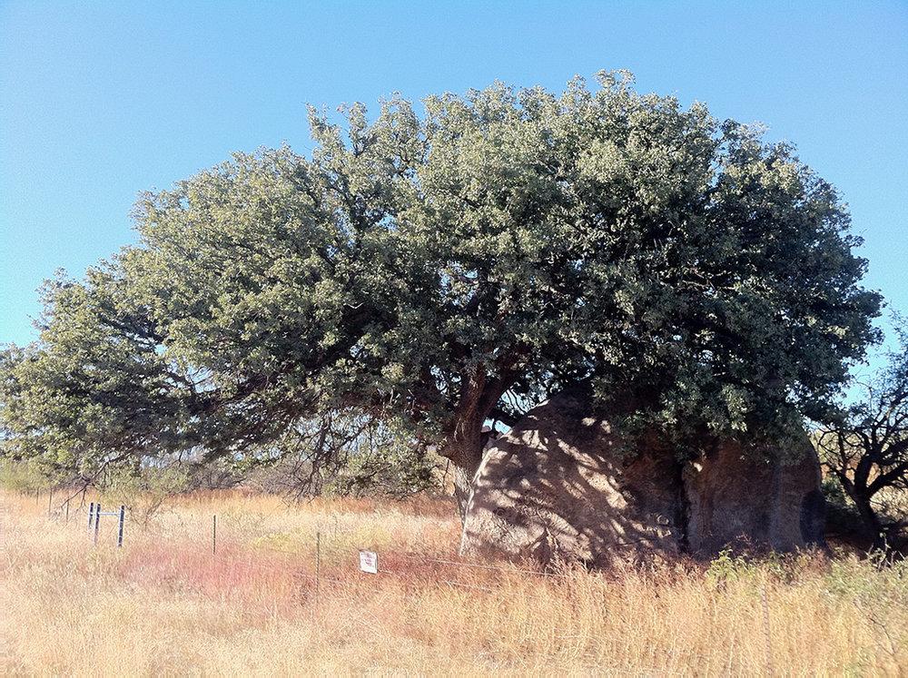 Mexican Blue Oak
