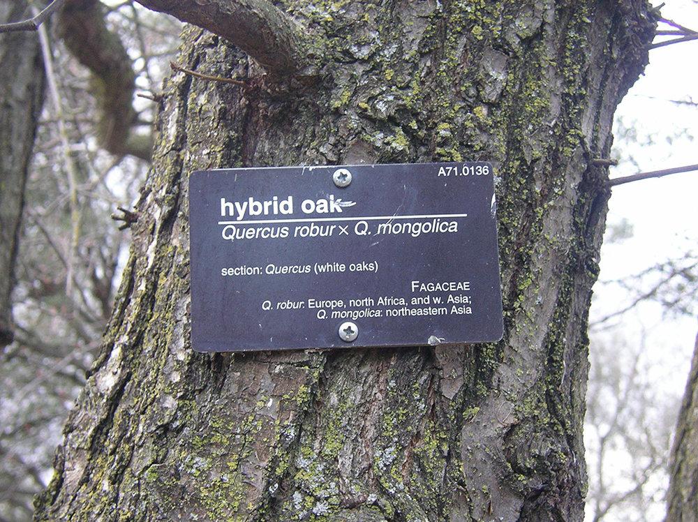 Hybrid Oak - English Oak x Mongolian Oak