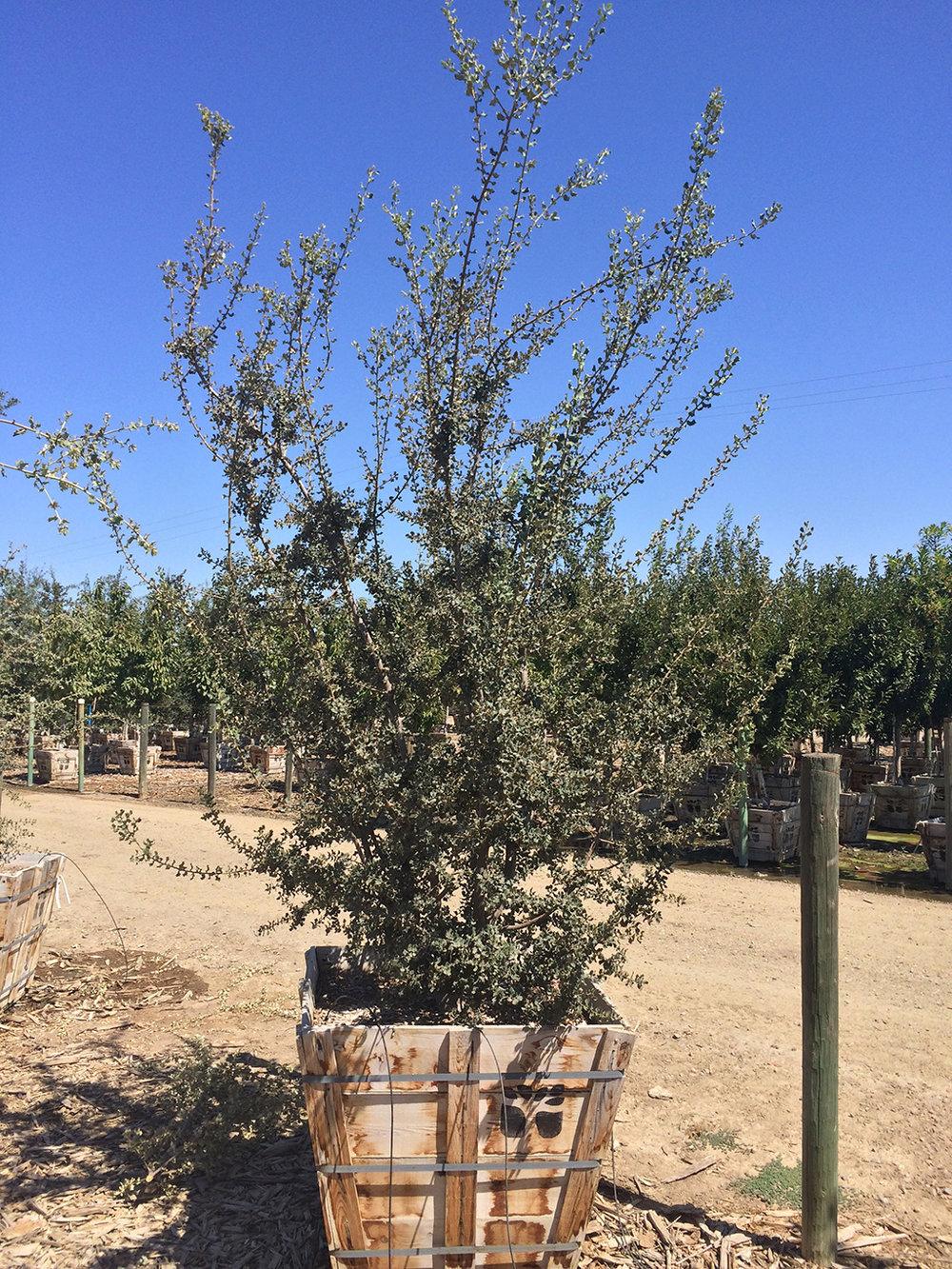 Ballota Oak