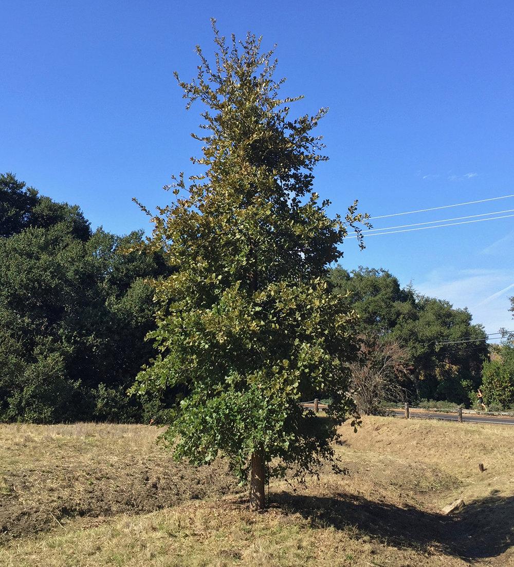 Hybrid Oak - Netleaf Oak x Chestnut-leaved Oak