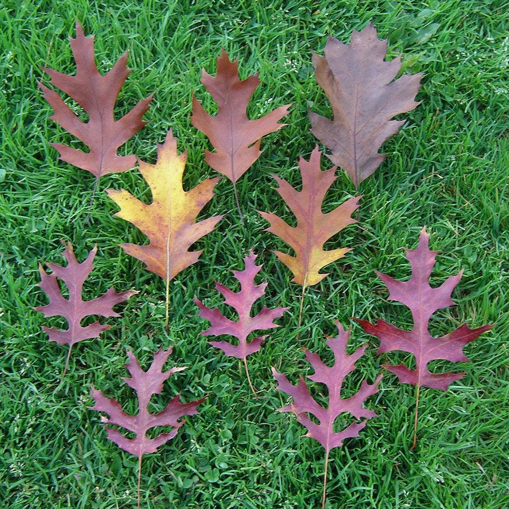 Red Oak and Scarlet Oak