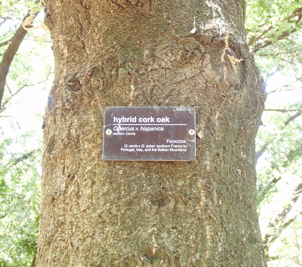 Hybrid Oak - Cork Oak x Turkey Oak
