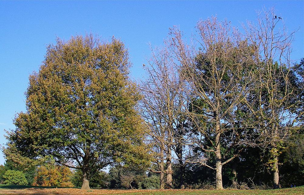 Trojan Oak