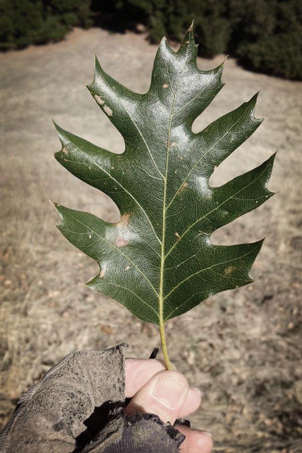 oak-leaf-in-hand.jpg