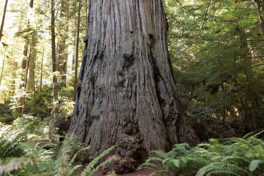 California Redwood Adventure (9 of 58).jpg