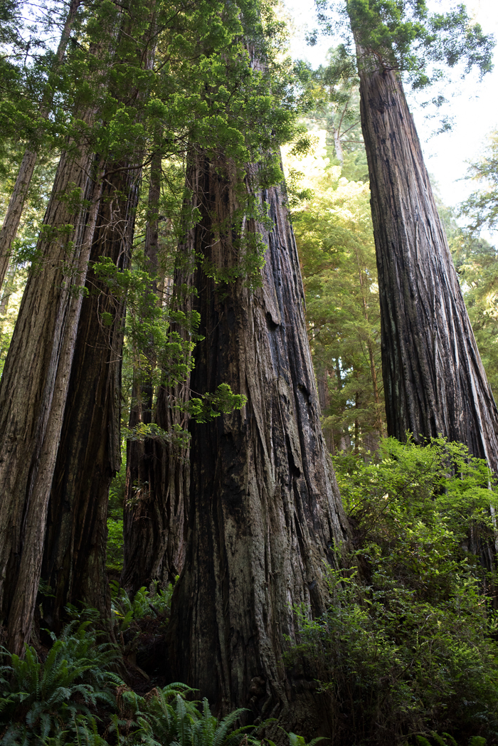 California Redwood Adventure (12 of 58).jpg