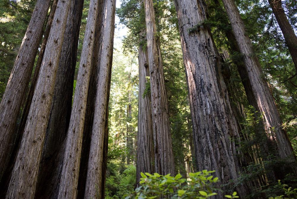 California Redwood Adventure (15 of 58).jpg