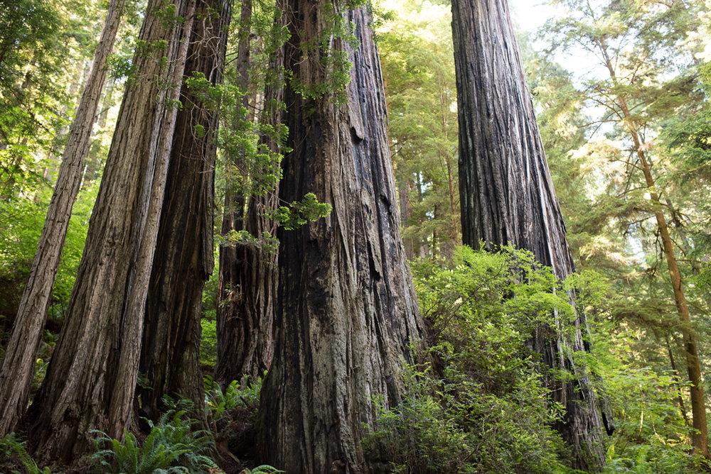 California Redwood Adventure (14 of 58).jpg