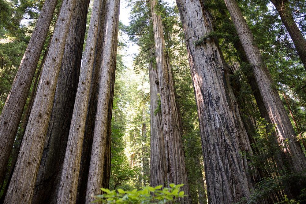 California Redwood Adventure (16 of 58).jpg