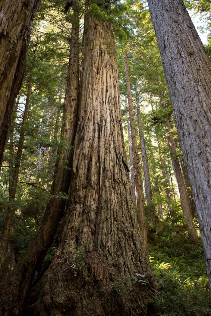 California Redwood Adventure (19 of 58).jpg