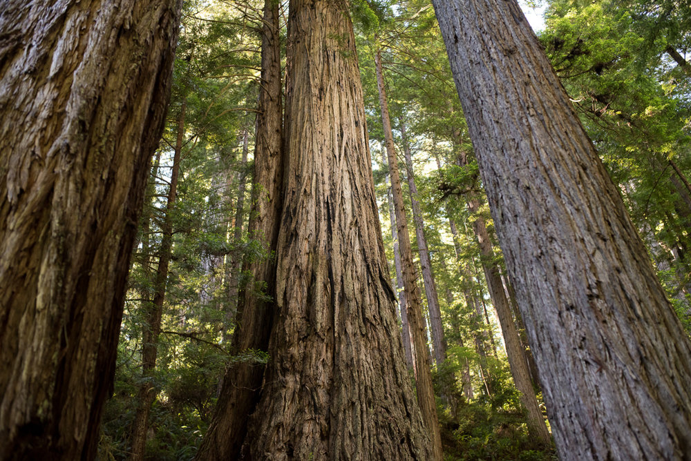 California Redwood Adventure (20 of 58).jpg