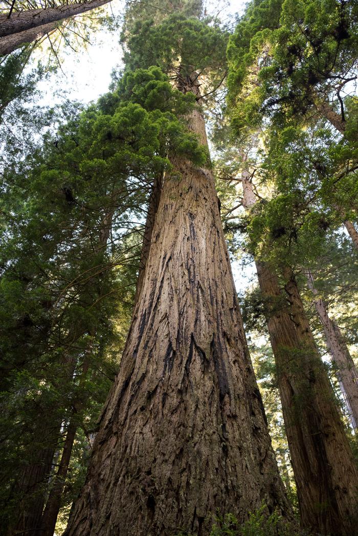 California Redwood Adventure (22 of 58).jpg