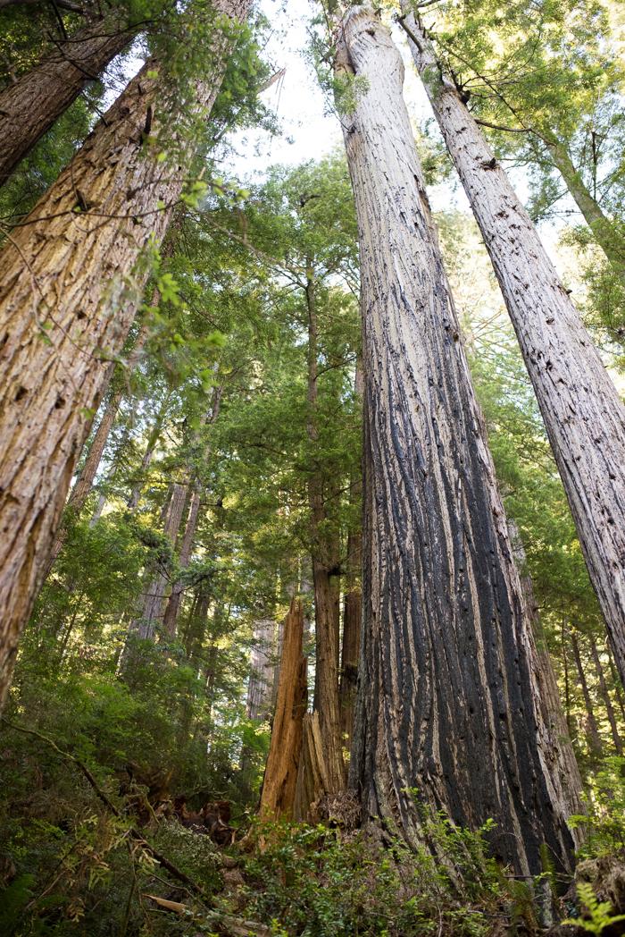 California Redwood Adventure (24 of 58).jpg