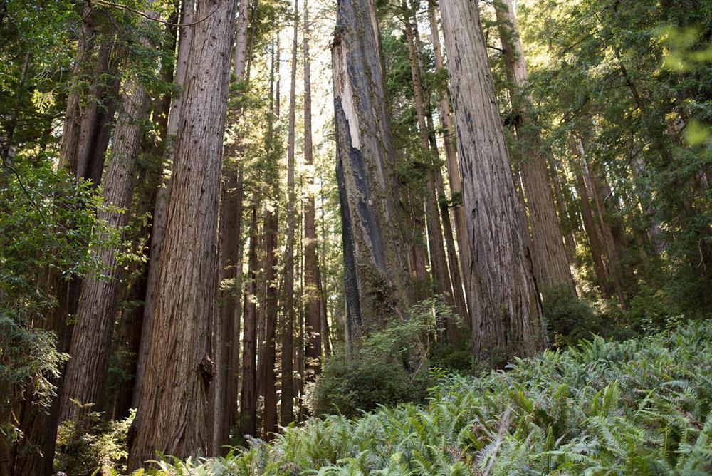 California Redwood Adventure (27 of 58).jpg